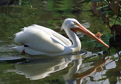 Looking Glass (PelicanPete) Tags: americanwhitepelican water bird pelican merrilypaddlingalong zoomiami miamiflorida unitedsates usa male large fibrousplate ngc sunrays5