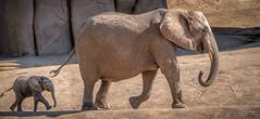 Keeping Up With Mom (helenehoffman) Tags: mammalg mother elephant conservationstatusvulnerable africansavannaelephant sandiegozoosafaripark motherandchild loxodontaafricana africanbushelephant calf animal