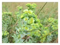 Sea Spurge (JulieK (thanks for 7 million views)) Tags: euphorbiaparalias seaspurge 100flowers2018 wildflower ireland irish wexford booley bay booleybay green hggt canonixus170 bokeh dof