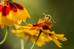 Sunny little bee (Sebo23) Tags: bee bokeh bokelisious biene makro macro makrofotografie nature naturaufnahme natur nahaufnahme insekt insect canon6d canon10028l flower blumen