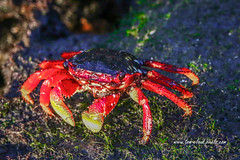 Low Tide Crab (tclaud2002) Tags: crab wildlife sealife lowtide rocks boardwalk downtown stuart florida nature mothernature outdoors usa