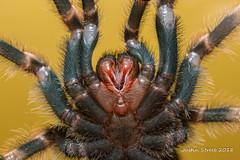 Tarantula Underside (strjustin) Tags: mexicanredkneetarantula tarantula arachnid spider insect bug macro