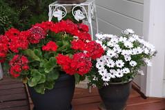 Tämän vuoden sädekukat kukkivat runsaasti (raimolehto1) Tags: kukat vantaa suomi