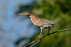 Green Heron 2018-09-15 A9_09862.jpg (DavidAWelch) Tags: greenheron ardeidae bird20iocreplaceoldbirdlist butoridesvirescens hamilton ontario canada ca