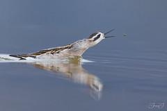 Phalarope à bec étroit (Tifaeris) Tags: charadriiformes norvège phalaropeàbecétroit phalaropuslobatus redneckedphalarope scolopacidés tanamunningen varanger bird oiseau