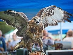 Rough-legged hawk (Goggla) Tags: raptorfest roughleggedhawk nyc new york bronx vancortlandt park 2018 raptor rough legged hawk gypsy bird goglog
