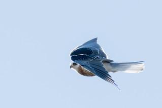 DSC_3222.jpg White-tailed Kite, Natural Bridges