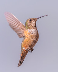 Rufous Hummingbird (robertdownie) Tags: britishcolumbia canada animal animalthemes animalwildlife animalsinthewild beautyinnature bird closeup day flapping flying fulllength hummingbird midair motion nature nopeople oneanimal outdoors spreadwings studio shot vertebrate yohonationalpark