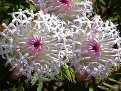 ADay In Kings Park, Perth, Western Australia (AdamsWife) Tags: westernaustralia perth kingspark plants flower flora wildflowers nature pimelea