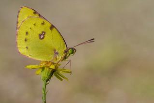 Gelbling auf gelbem Ansitz