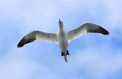 Gannet (steve whiteley) Tags: bird nature wildlife gannet morusbassanus birdinflight seabird