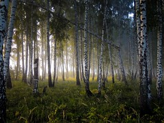 The morning (arthurverigin) Tags: russia siberia forest morning mist fog birch утро туман лес