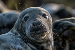 Seal-2 (rackhs) Tags: 150600mm d7500 holiday seahouses sigma nature seal wildlife