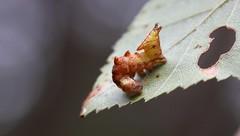 """Notodonta ziczac"" - kameeltje (bugman11) Tags: kameeltje bug bugs fauna caterpillar caterpillars nature insect insects animal animals notodontaziczac nederland thenetherlands bloemendaal canon 100mm28lmacro macro leaf leaves"