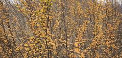 Fagus (rubberducky_me) Tags: fagus tasmania tree leaves autumn fall cradlemountain australia