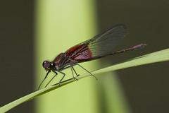 American Rubyspot, Hetaerina americana (Jeff Mitton) Tags: damselfly americanrubyspot dragonfly insect colorado macro earthnaturelife wondersofnature
