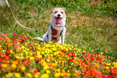 Every Flower is a Soul (moaan) Tags: awaji hyogo japan jp flower flowering florra grass garden flowergarden dog jackrussellterrier kinoko portrait dogportrait focusonforeground selectivefocus depthoffield dof canoneos5dsr ef70200mmf28lisiiusm utata 2018