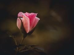 Glowing (Petr Horak) Tags: oreston vintagelens garden bud blossom rose