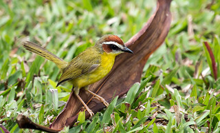 IMG_9910  Rufous-capped Warbler