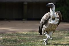 White-Backed Vulture (Bri_J) Tags: tropicalbutterflyhouse northanston southyorkshire uk yorkshire nikon d7200 whitebackedvulture vulture gypsafricanus bird sigma150600mm