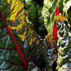 chard (amazingstoker) Tags: west green house nt national trust light back gardens colour sun hampshire red garden leaf chard vegetable food salad