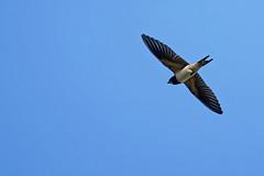 Hirondelle A7307740_DxO (jackez2010) Tags: ilce7m3 sel14tc fe100400mmf4556gmoss hirondellerustique bif birdinflight