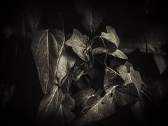 Blending in (J.C. Moyer) Tags: vines gothic nature arachnid lumix panasonicdmcgx80 macro blackandwhite bindweed leaves dark insect spider phalangiumopilio