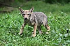 Louveteau européen (Passion Animaux & Photos) Tags: loup louveteau europeen european wolf cub canis lupus parc animalier saintecroix france