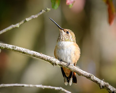 Allen's/Rufous Hummingbird (f) (Becky Matsubara) Tags: allenshummingbird avian bird birds california ebrpd eastbayregionalparks hummingbird nature outdoors selasphorussasin sobranteridge sobranteridgeregionalpreserve wildlife ebparksok rufoushummingbird