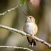 Allen's/Rufous Hummingbird (f)