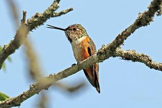 Rufous Hummingbird 18-0602-6512