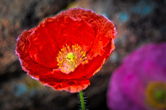 Red wrinkled poppy (Pejasar) Tags: red wrinkled poppy flower plant garden estespark colorado beautiful macro bloom blossom