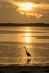 Great Blue Heron Fishing During a Rainy Sunset (dbadair) Tags: outdoor seaside shore sea sky water nature wildlife 7dm2 ocean canon florida ft desoto