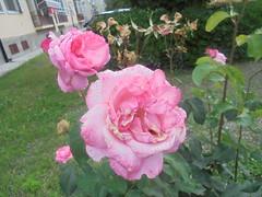 224 (en-ri) Tags: rose roses sony sonysti cespuglio bush verde foglie leaves