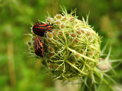 Graphosoma italicum (Vulpe Photographie) Tags: insect insecte animal nature nikon coolpix p900 france normandie normandy eure wildlife wildlifephoto wildlifephotography macro macrophoto macrophotographie macrophotography graphosoma graphosome punaise