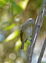 Gray vireo (justkim1106) Tags: vireo tinybird texasbird birding nature wildlife bokeh naturebokeh texaswildlife animal songbird