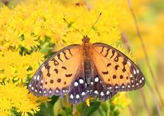 regal fritillary on stiff goldenrod at Decorah Prairie IA 653A5681 (lreis_naturalist) Tags: regal fritillary butterfly decorah prairie feeding stiff goldenrod winneshiek county iowa larry reis