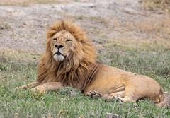 Male lion in Ngorongoro Conservation Area, Tanzania (xiao_fan19454) Tags: lion tanzania safari ngorongoroconservationarea ngorongoro