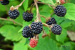 Blackberry Fruit (Mike Slade.) Tags: blackberryfruit rubusfruticosusl stovercountrypark newtonabbot devon england nikon sigma105mmmacro ©mikeslade