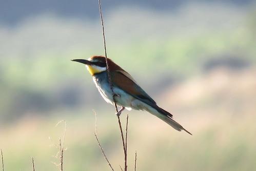 09 - ABEJARUCO (Merops apiaster) - JUAN LUIS REDAJO SANTIAGO