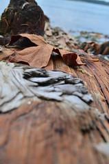 Holiday's End (Sarah.Goodman) Tags: driftwood leaf tree water sea ocean cove fall brown wet dry beach shore macro