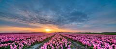 A sunset in spring. (Alex-de-Haas) Tags: 11mm adobe blackstone d850 dutch hdr holland irix irix11mm irixblackstone lightroom nederland nederlands netherlands nikon nikond850 noordholland photomatix photomatixpro asparagaceae beautiful beauty bloem bloemen bloementeelt bloemenvelden cirrus cloud clouds cloudscape floriculture flower flowerfields flowers hyacint hyacinten hyacinth hyacinths hyacinthus hyacinthusorientalis landscape landschaft landschap lente lucht mooi polder skies sky skyscape spring sun sundown sunset wolk wolken zonsondergang
