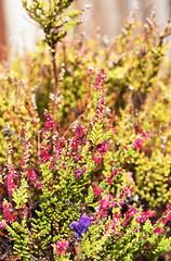 DSC_1511 Heather (PeaTJay) Tags: nikond750 sigma reading lowerearley berkshire macro micro closeups gardens outdoors nature flora fauna plants flowers heather