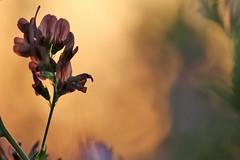 se réjouir de la fin du jour-1 (FLOCVROFF) Tags: sunset summer chivaroff flower bokeh web theflickrlounge focus