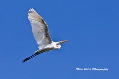 IMG_8925 (nitinpatel2) Tags: bird nature nitinpatel