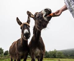 Carrots for breakfast! (Explore 07/09/18) (BJC- photos) Tags: canon1018mm donkey animal smile carrot tongue orange eating canon700d fur furry fun teeth mane neddy