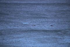 IMG_3566 (gervo1865_2 - LJ Gervasoni) Tags: surfing with whales lady bay warrnambool victoria 2017 ocean sea water waves coast coastal marine wildlife sealife blue photographerljgervasoni