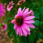 Toronto Ontario ~ Canada ~ Edwards Botanical Gardens ~  Sombrero Flamenco Orange Coneflower thumbnail