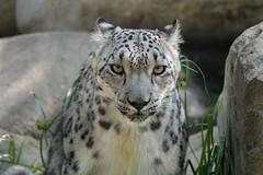 Intensity (greekgal.esm) Tags: snowleopard pantherauncia leopard bigcat cat feline animal mammal carnivore marai losangeleszoo lazoo losangeles griffithpark sony rx10m4 rx10iv
