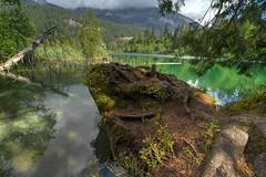 """Wurzelformation """"Krokodilskopf"""" am Crestasee, Graubünden, Schweiz"""